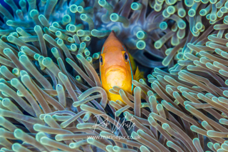 ./galleries/anemonefish/images/thumbnails/20140409_01790.jpg