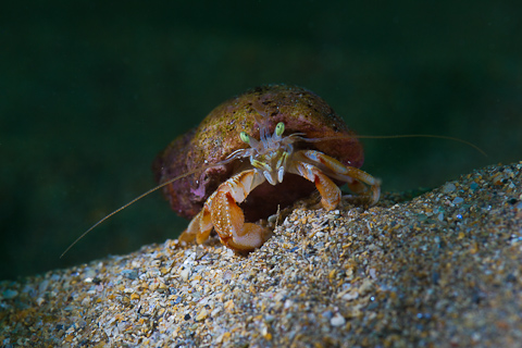 Underwater Photography Championships winner - Hermit Crab