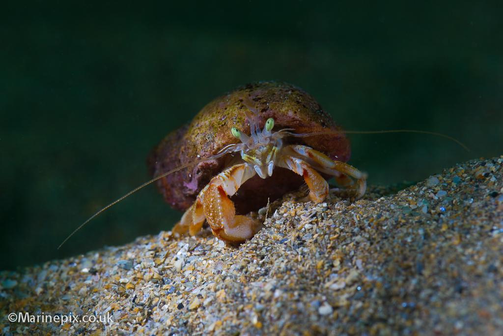 Hermit Crab Underwater