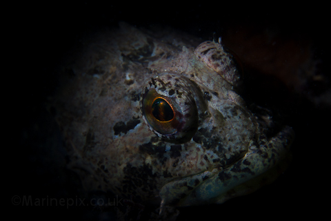 scorpion fish - diver in the eye detail