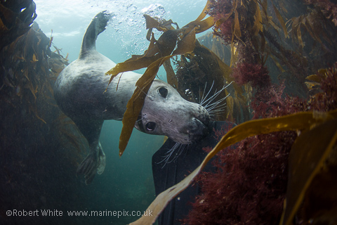Farne Islands Seal nibbling my fin amongst the kelp - by Marinepix