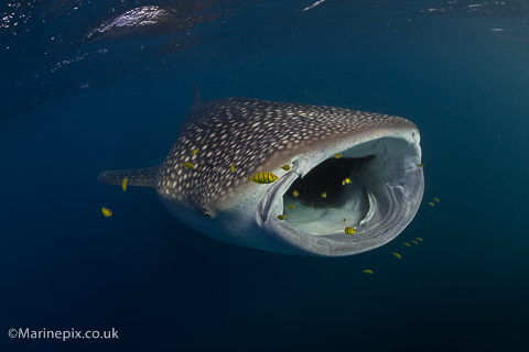 Marinepix Robert White Whaleshark